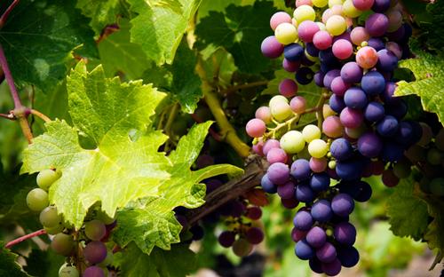 法国阿尔萨斯主要葡萄品种