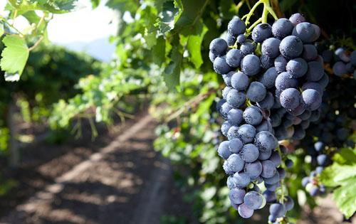 黑珍珠(Nero d'Avola)葡萄品种