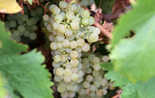 格里洛(Grillo)葡萄