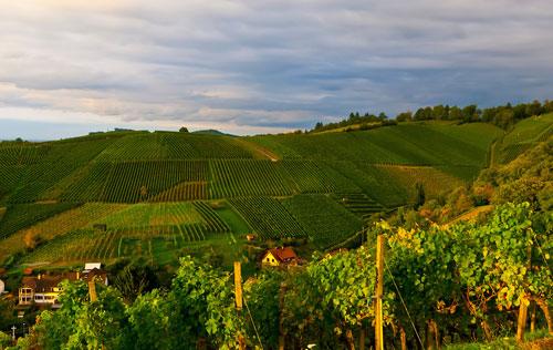 2019年德国葡萄酒产量同比下降20%