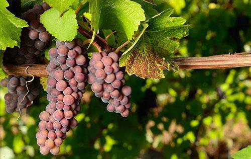灰皮诺成为意大利葡萄酒出口的重要品种