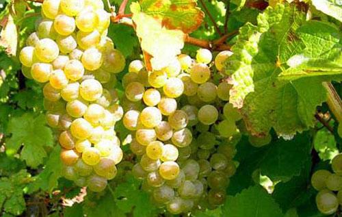 德国雷司令葡萄品种