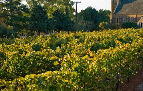 2020年份南澳产区的葡萄酒产量将减少50%